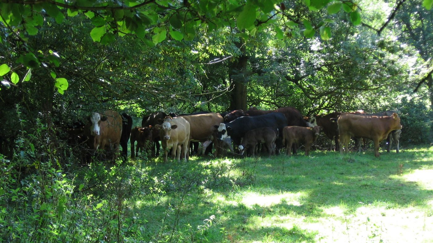 Cattle at Mill Brook